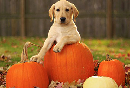 Yellow lab with pumpkins